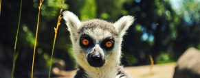 À la découverte des lémuriens de Madagascar !