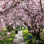 Cerisiers en Asie