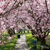 Top3 des meilleures destinations pour l'observation des cerisiers en fleur