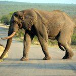 savanne, élephant en Afrique du Sud