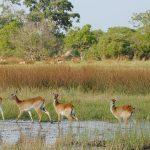 Reserve de Moremi, au Botswana, en Afrique