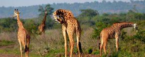 Séjour au Rwanda : top 3 des parcs nationaux à visiter