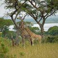 girafe, en Ouganda, Afrique