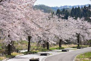 Séjour au Japon, Hanami